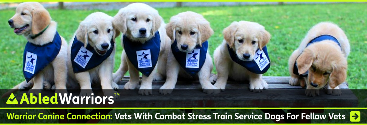 AbledWarriors Link Banner shows a row of six Golden retriever puppies sitting side by side on a picnic table facings the camera, with green grass in the background. The puppies are wearing blue kerchiefs around their neck with the Warrior Canine Connection logo that shows the profile of a dog inside a blue star. The headline reads: Warrio Canine Connection: Vets With Combat Stress train Service Dogs For Fellow Vets. Click here to go to the story.