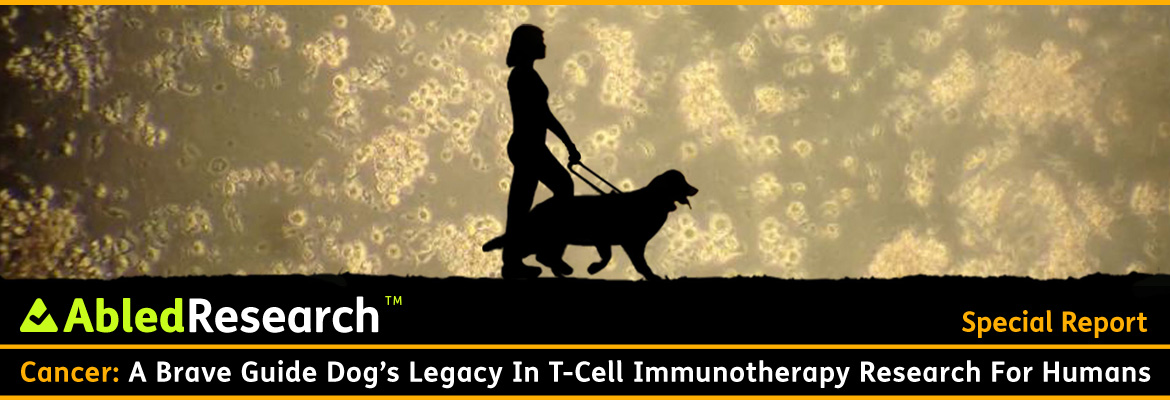 AbledResearch Post banner shows a silhouette of Abled.com Co-Founder Laura Meddens walking with her Seeing Eye guide dog Wagner against a magnified golden-hued image of Wagner's T-Cells as seen through an electron microscope. The headline reads: Cancer: A Brave Guide Dog's Legacy In T-Cell Immunotherapy Research for Humans.