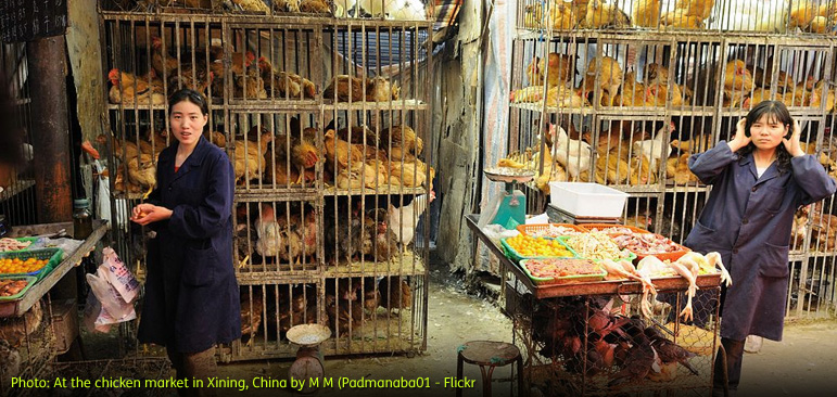Photo of two women working at the chicken market in Xining, China surrounded by cages full of chickens