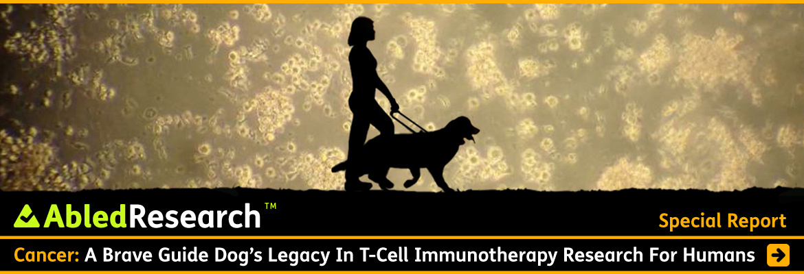 AbledResearch Special Report post banner shows a black silhouette of Abled Co-Founder Laura Meddens walking with her Seeing-Eye guide dog Wagner against a backdrop that shows a microscopic view of Wagner's T-Cells with the headline: Cancer: A Brave Guide Dog's Legacy In T-Cell Immune Therapy research For Humans.
