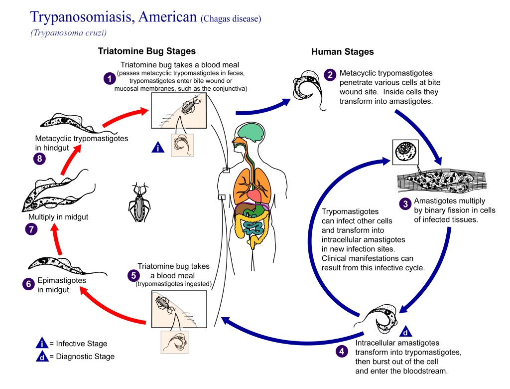 AbledLERT info graphic from the CDC shows the life cycle of the parasite that causes Chagas disease and how it spreads to humans.