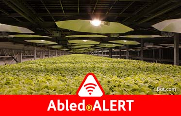 Abled.ALERT: Photo shows tobacco plants being cultivated indoors under growing lights.