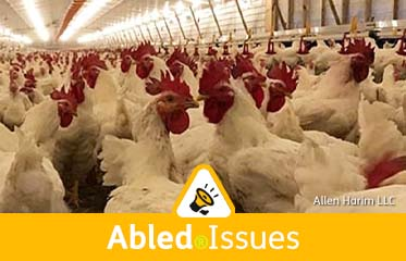 Abled.Issues: Photo of live chickens inside a huge holding building at Allen Harim's processing plant in Delaware.