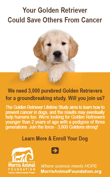 Abled Public Service announcement shows a Golden Retriever puppy standing with its front paws hanging over an orange board with the following text on the board: Your Golden Retriever Could Save Others From Cancer. We need 3,000 purebred Golden Retrievers for a groundbreaking study. Will you join us? The Golden Retriever Lifetime Study aims to learn how to prevent cancer in dogs, and the results may eventually help humans too. We're looking for Golden Retrievers younger than 2 years of age with a pedigree of three generations. Join the force - 3,000 Goldens strong! Click here to learn more and enroll your dog by connecting to the Morris Animal Foundation, where science meets Hope.