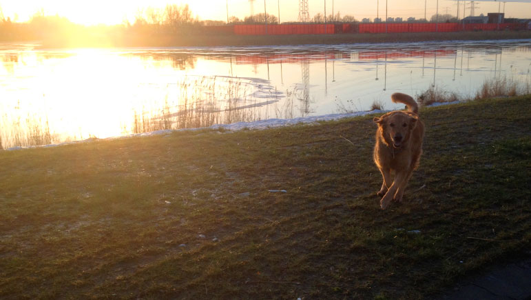 Waggie enjoying running along one of the canals in the Amsterdam suburb of Ijburg before going to Houston.