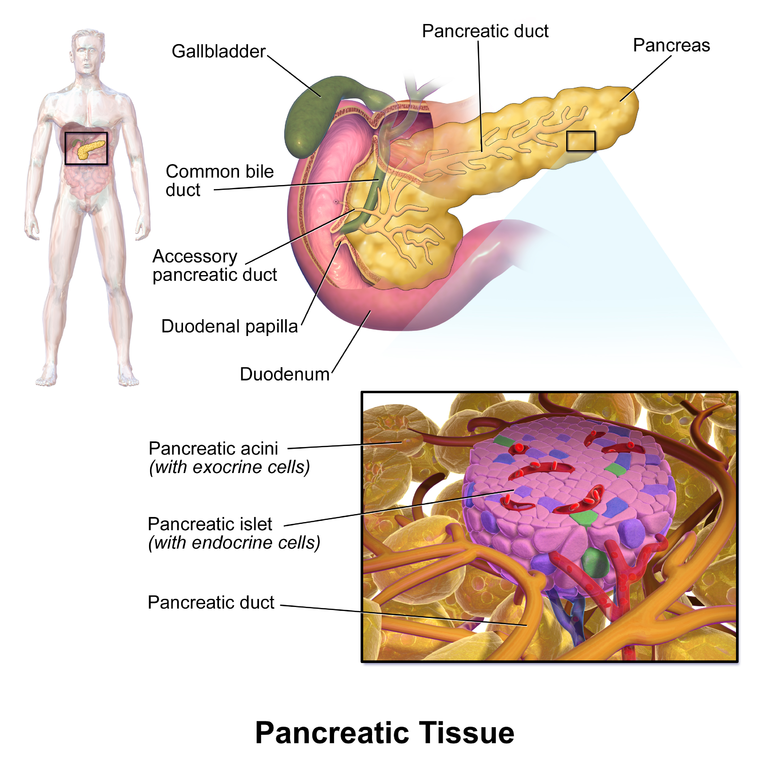 Graphic diagram by Bruce Blaus  shows the location of the pancreas in the human body just under the bottom central part of the ribcage. It also shows closeups of the pancreas and a further closeup of the islet cells .